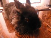 Кролики декоративные недорого